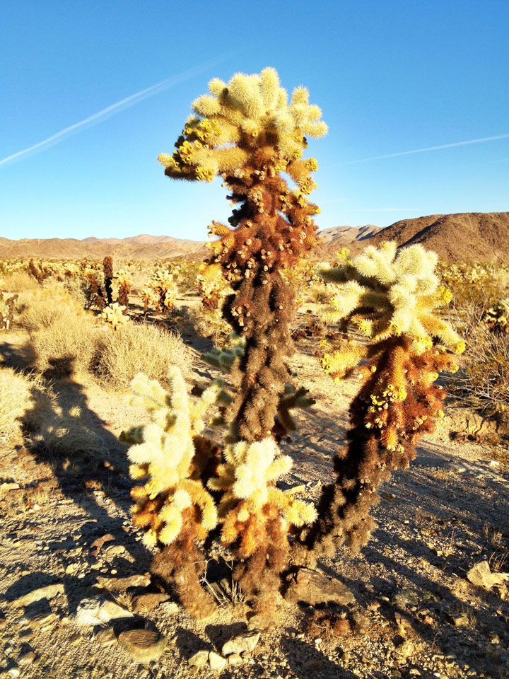 cholla-cholla-everywhere