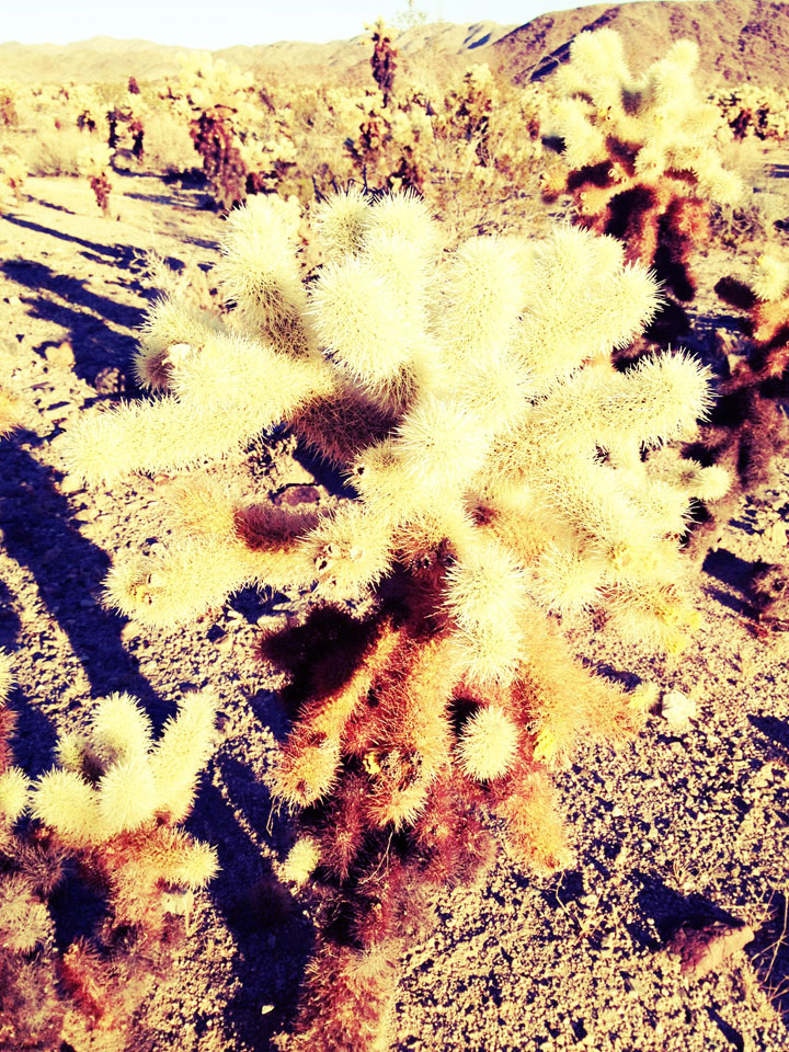 yellow-cholla