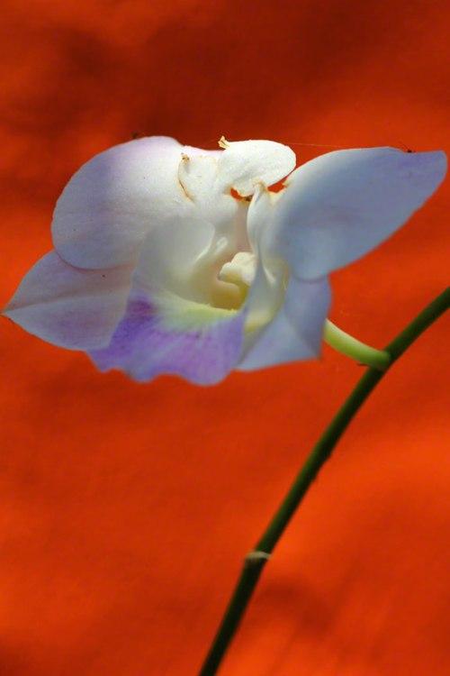 bali-orchids-lottie-nevin