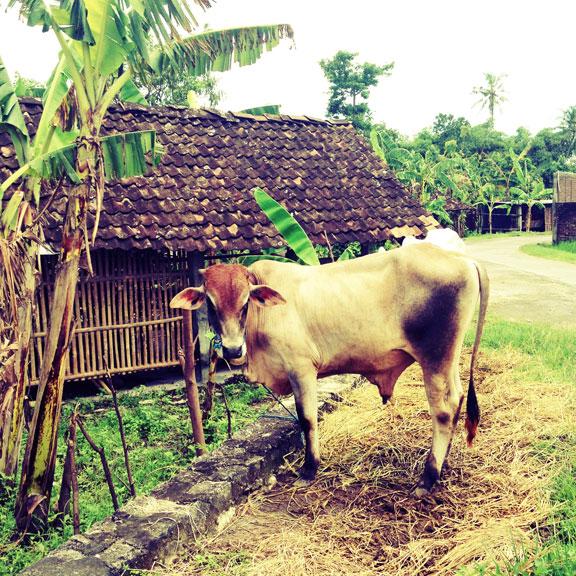 jogj-kampung-brown-bull