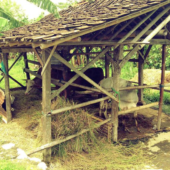 jogja-kampung-cowshed