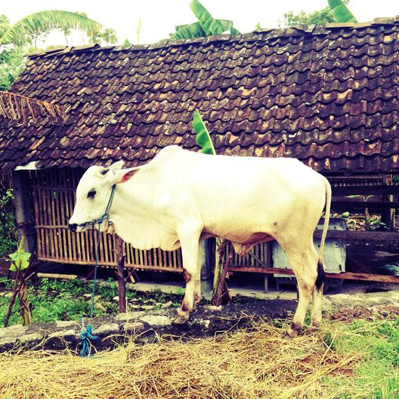 jogja-kampung-little-white-bull