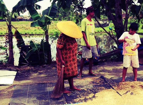 jogja-kampung-rice-harvest-2