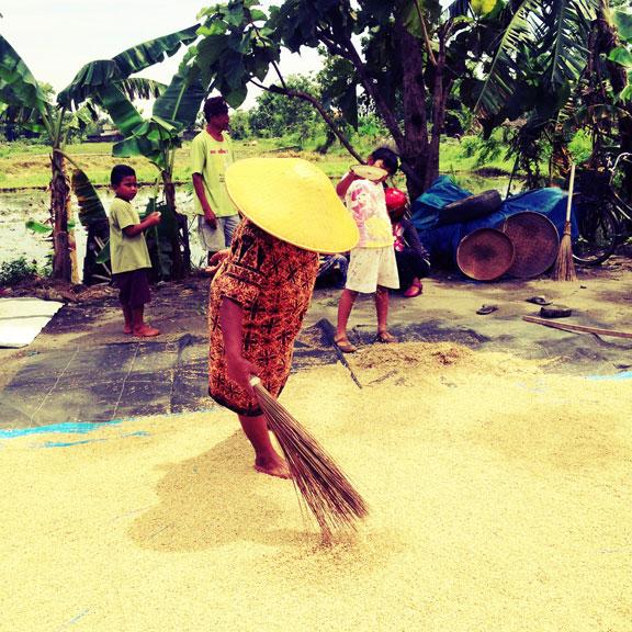 jogja-kampung-rice-harvest1