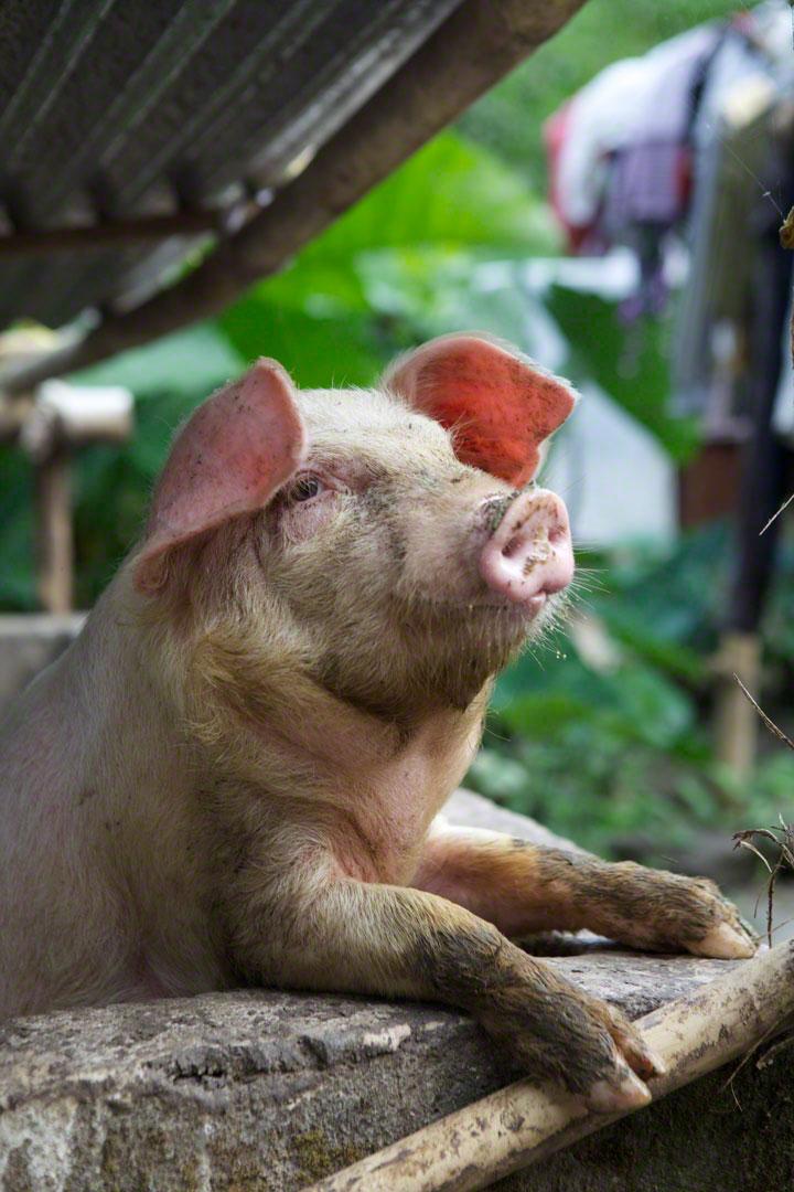 kampung-pig-ubud
