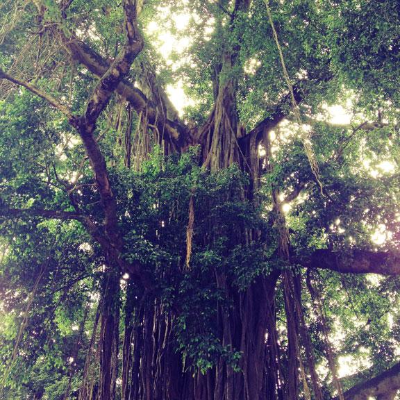 kotagede-jogja-banyan-tree