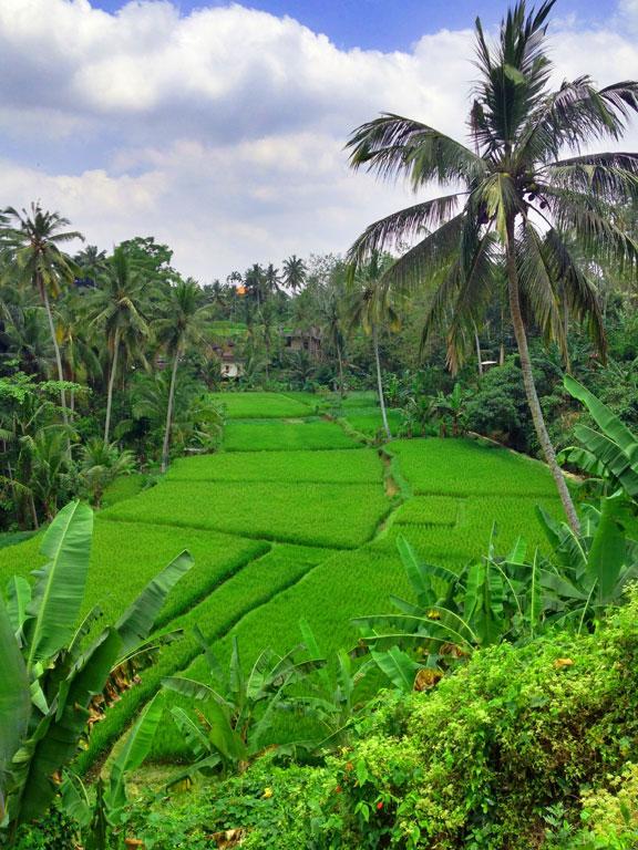 Rice-fields--ubud-2