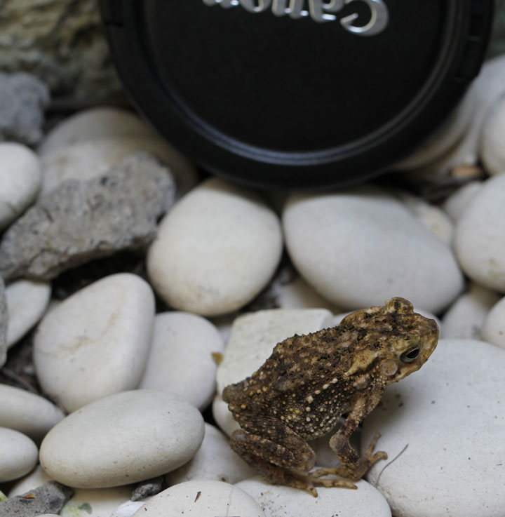 toad-in-front-of-lens-cap