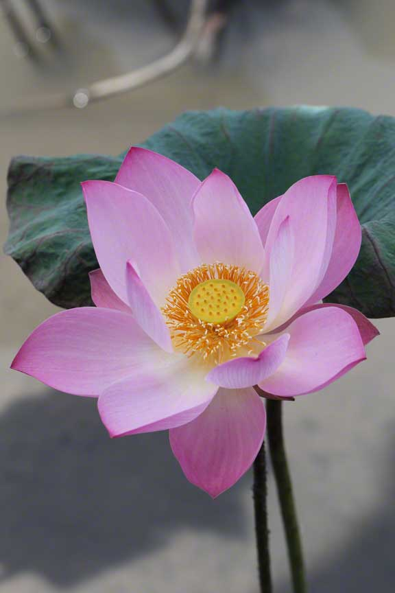crystal-clear-bali-lotus