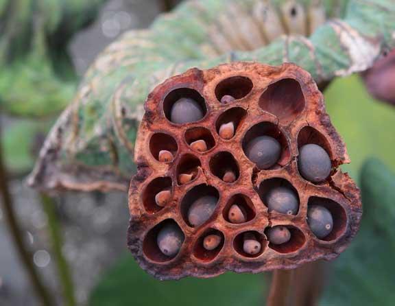 lotus-garden-metis-seedpod