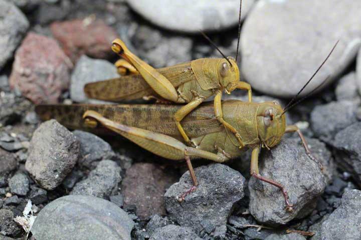 mating-crickets---lottie-nevin