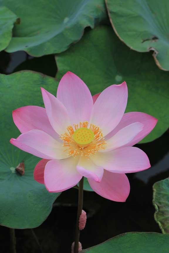metis-restaurant-seminyak-bali-lotus