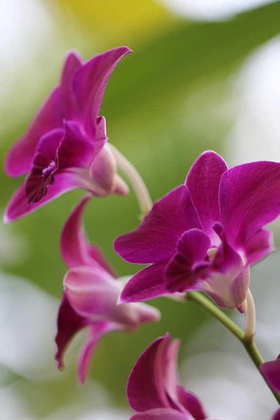 purple-orchid-bali-sanur-images