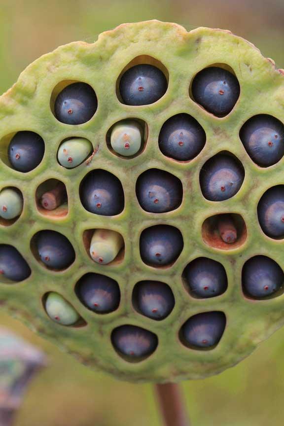 seed-pods-lotus-metis-seminyak