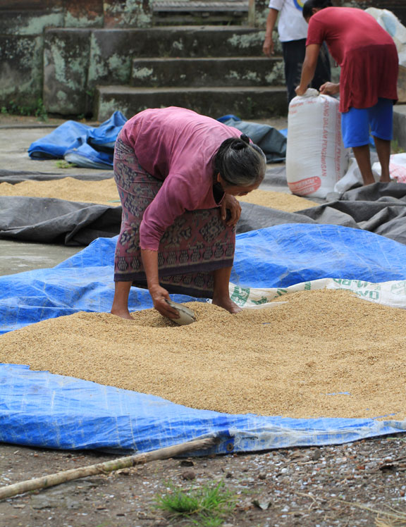 bagging-the-rice-bali
