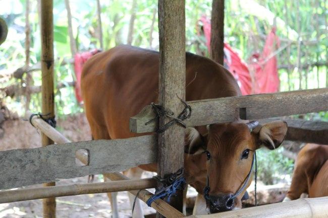 cowshed-bali-padi-fields