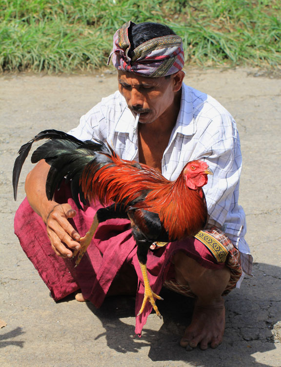 handsome-cock-bali-kampung-life