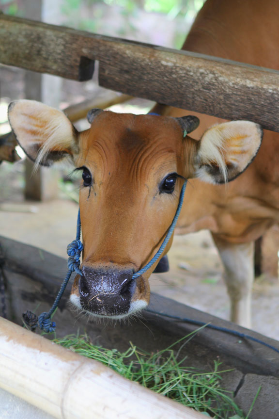 hownowbrowncow-bali-