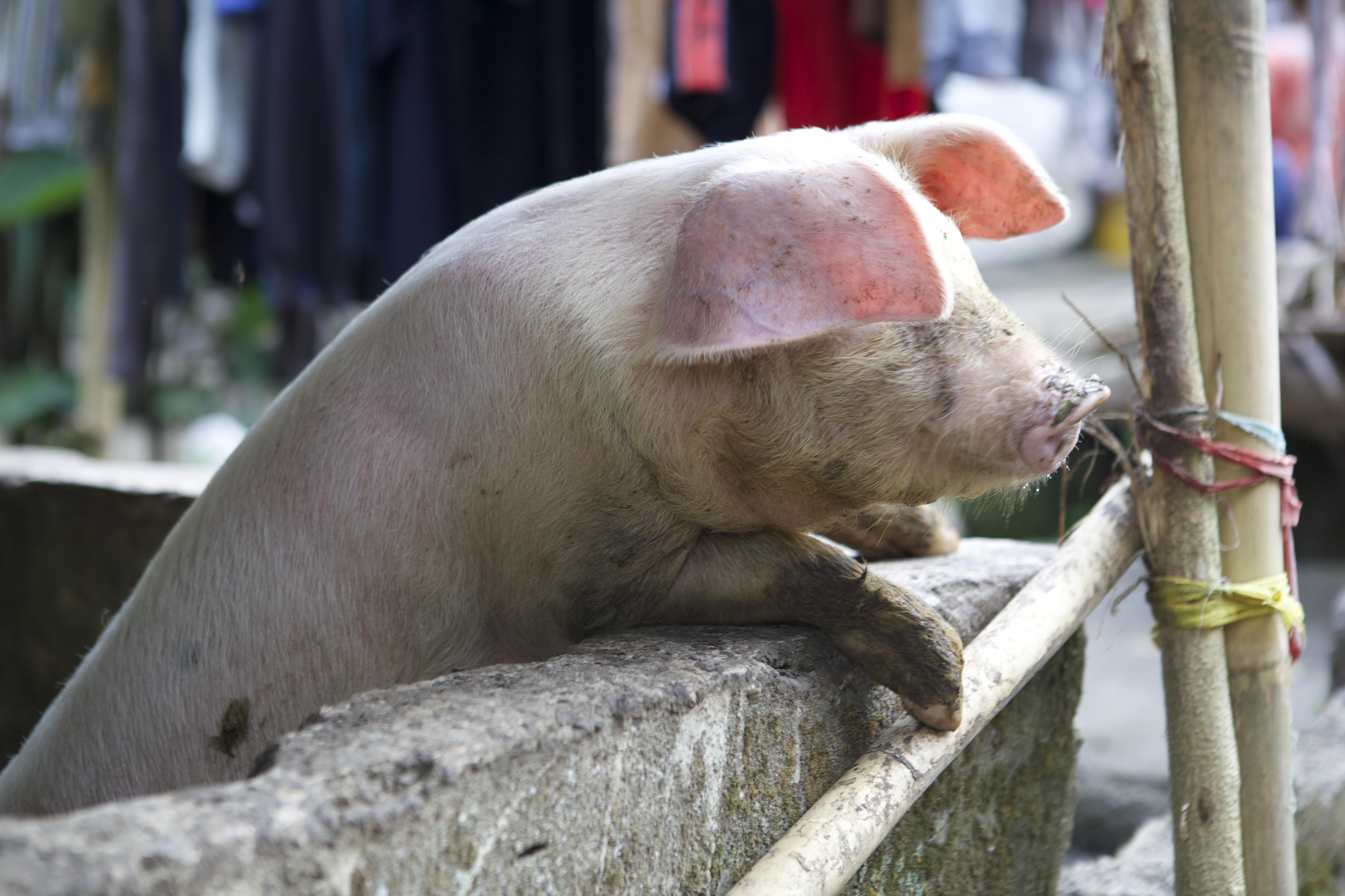 100+ Gambar Babi Kampung Terlihat Keren