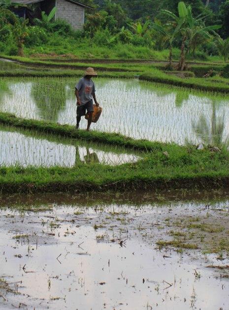 jalanjalan-bali-padi-fields