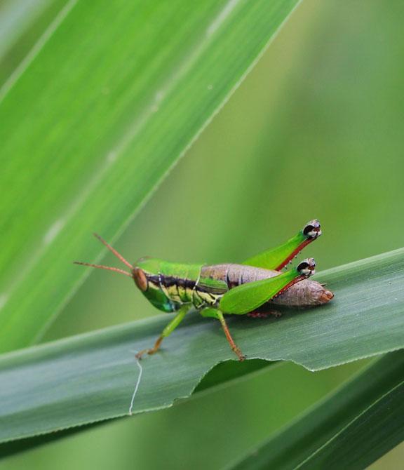jimminy-cricket-bali