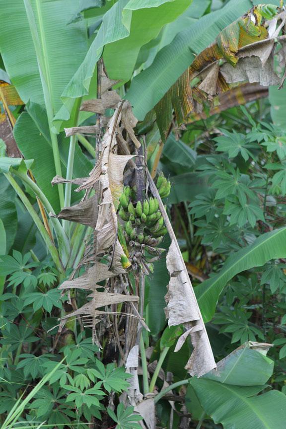jungle-bananas-bali-pisang