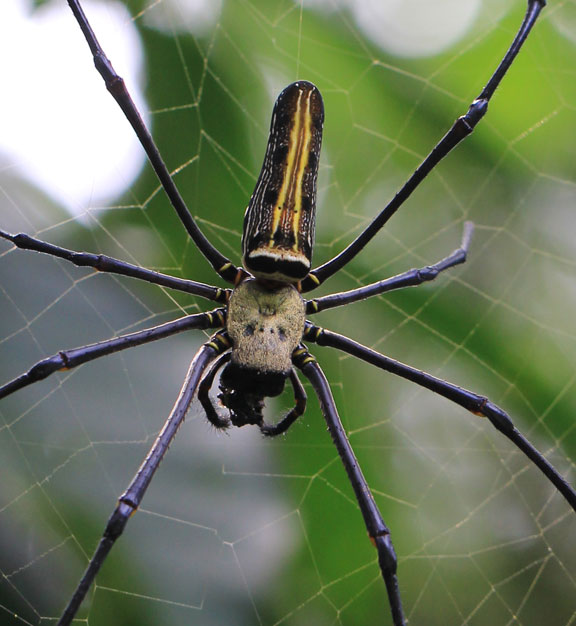 jungle-spider-bali
