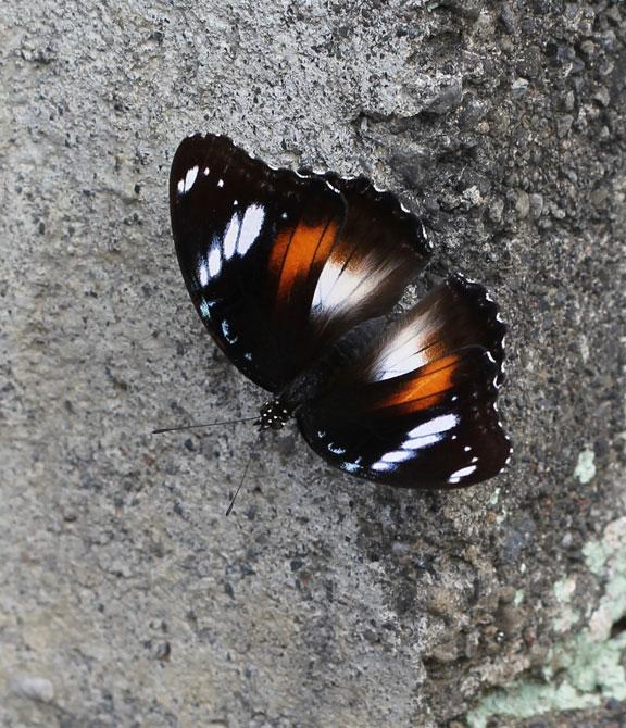 largebutterfly-bali-kampung