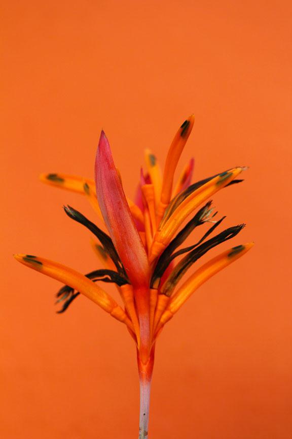 orange-bali