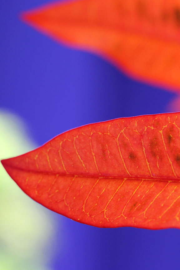 orange-leaf-blue-wall-bali