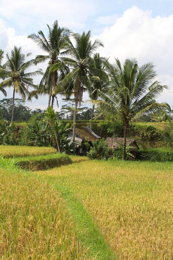 padi-rice-yellow-kampung