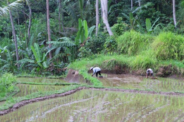 padi-workers-ubud-bali