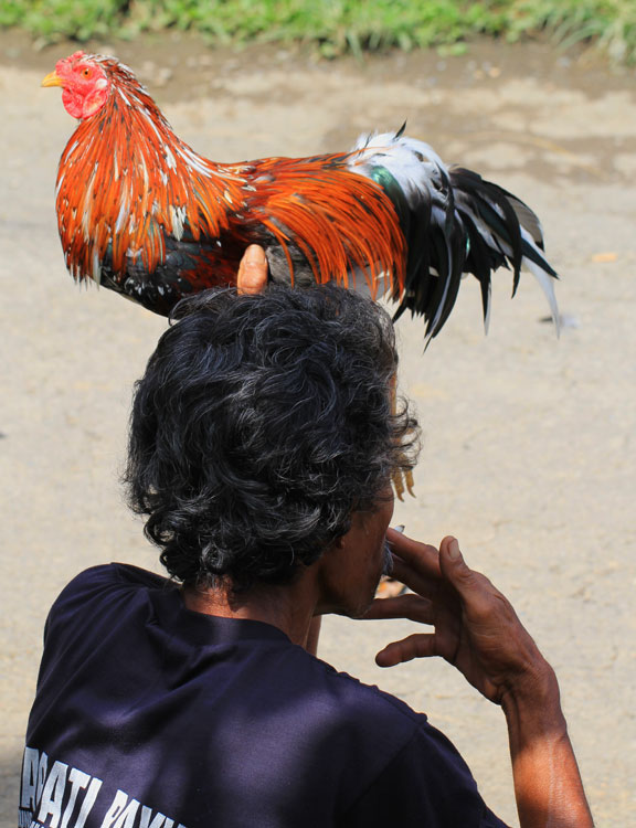 rural-life-bali-rokok-cock