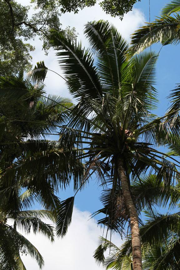 upthroughthetrees-bali-palms