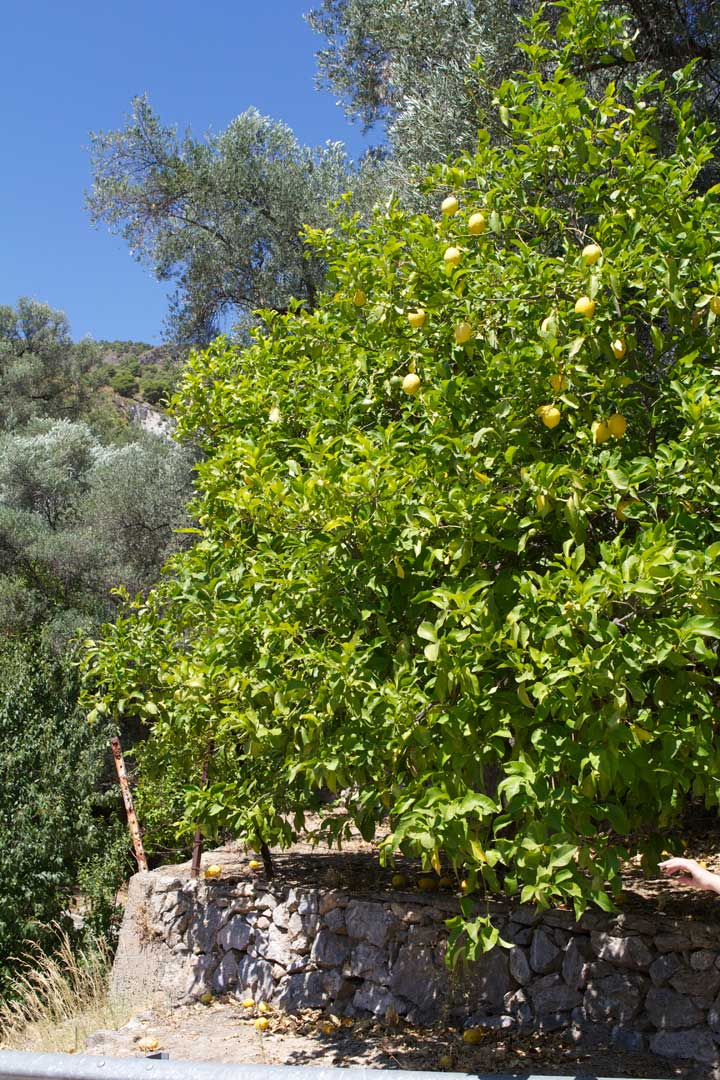 blue-sky-and-lemon-tree