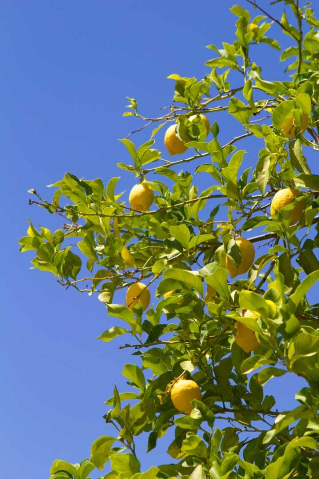 lemons-andalucia