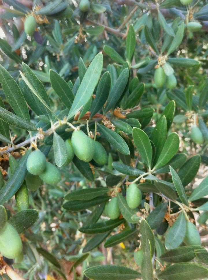 olive-groves-pilas-de-fuente-soto-andalucia