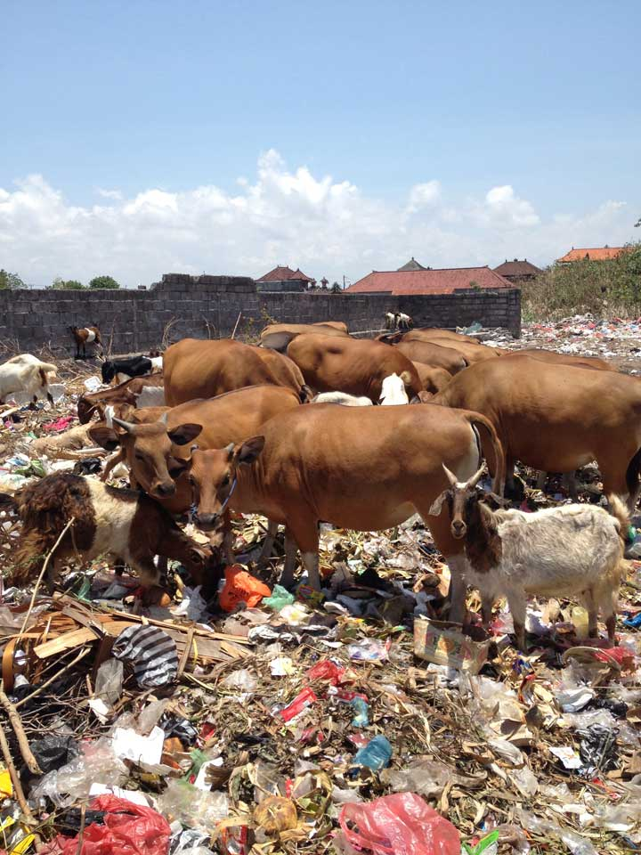 cows-and-goats-feeding-on-plastic-and-rubbish