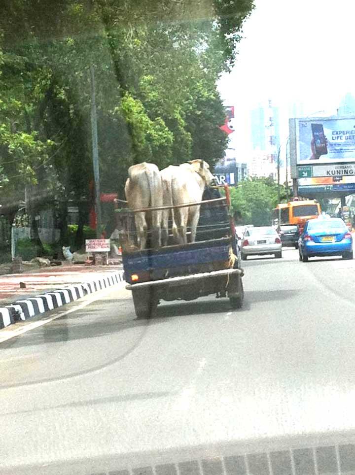cows-in-jakarta