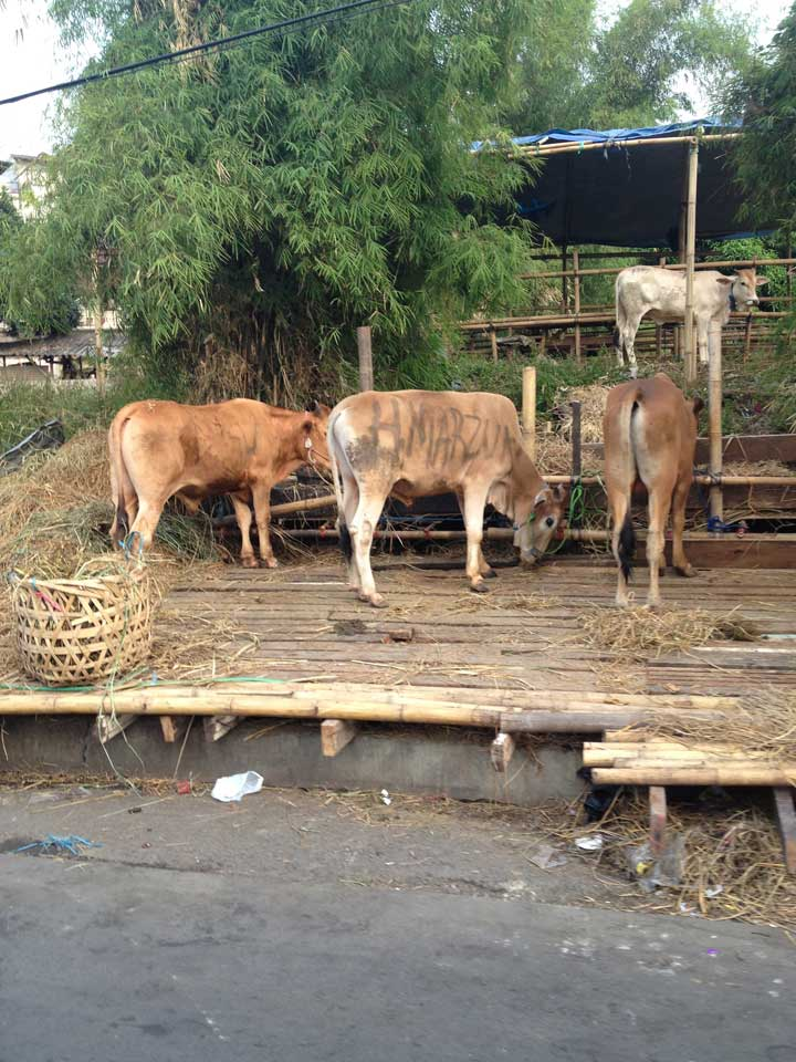 cows-to-be-sold