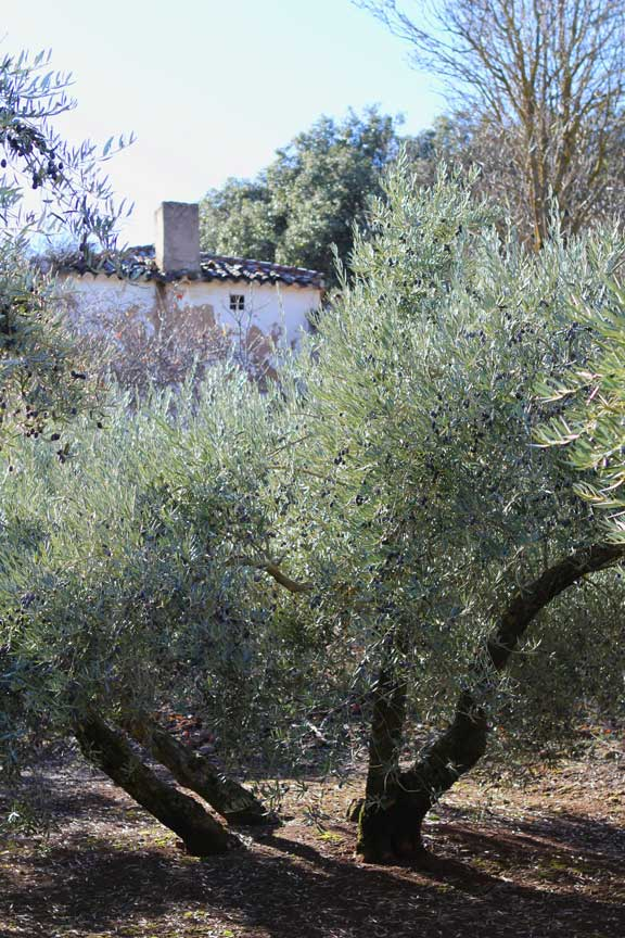 amongst-the-olives