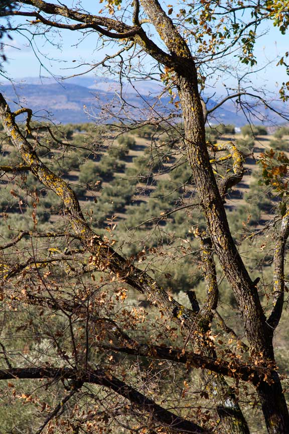 olives-and-hills-through-the-trees