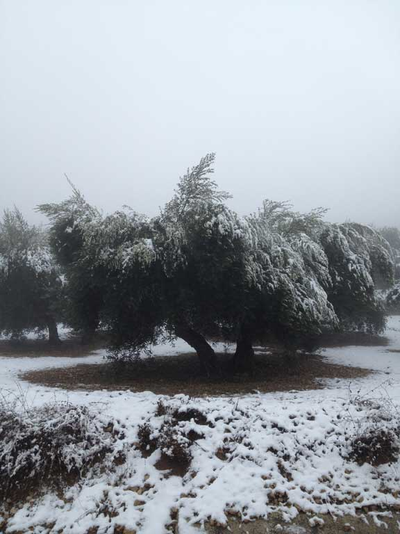 snow-in-olive-groves---las-pilas