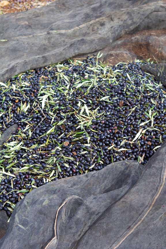 freshly-harvested-olives