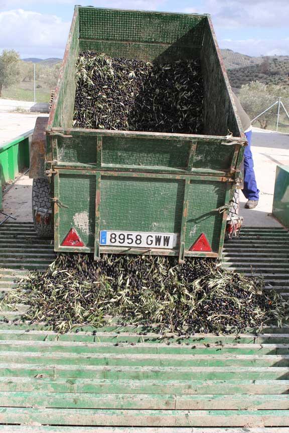 olives-leaving-trailer