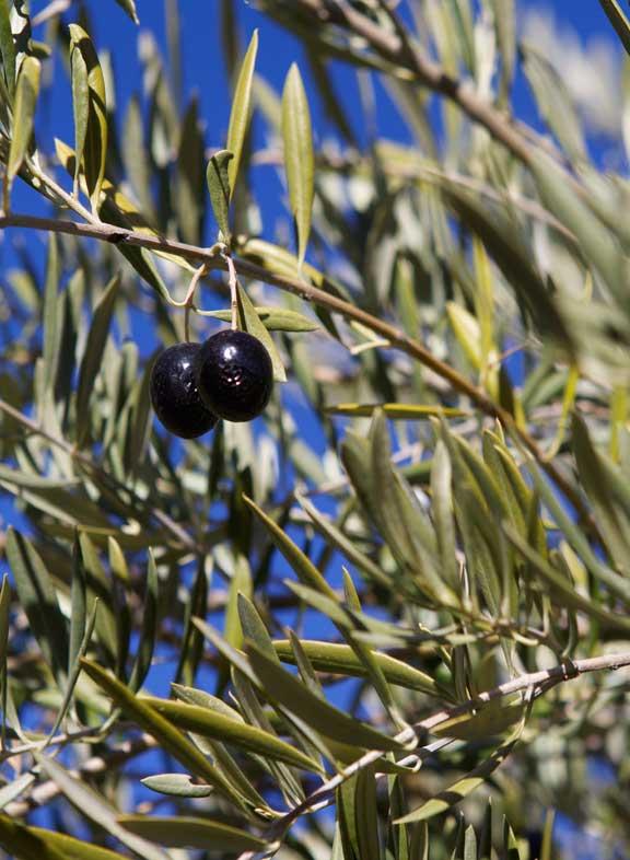 shiny-olives