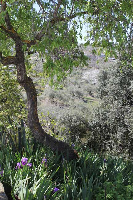 almond-tree-and-olives