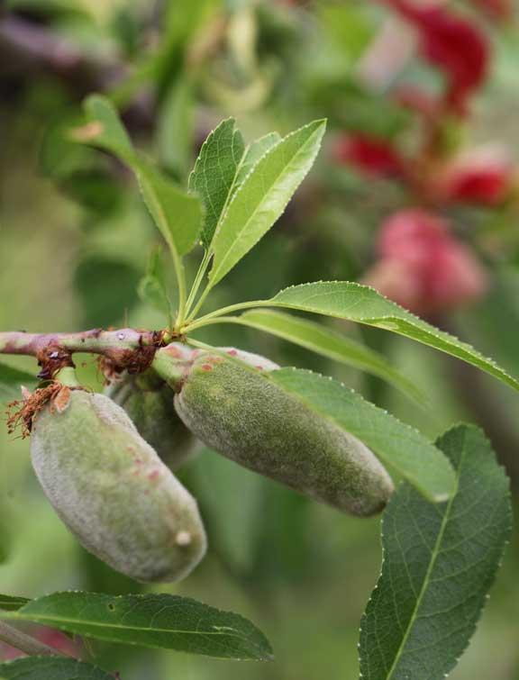almondsredleaves