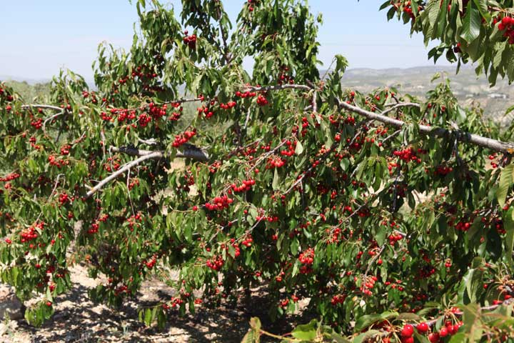 andalucian-cherries---alcala-la-real