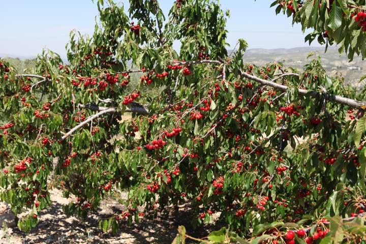 andalucian-cherries---alcala-la-real
